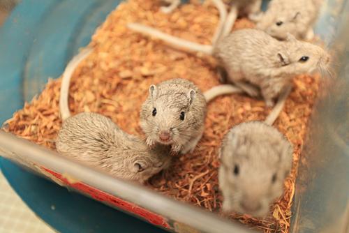 klinické skúšanie liekov testy na myšiach