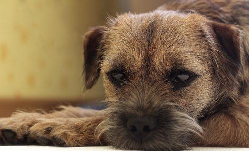 besnota príznaky u psa