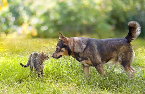 besnota u mačiek