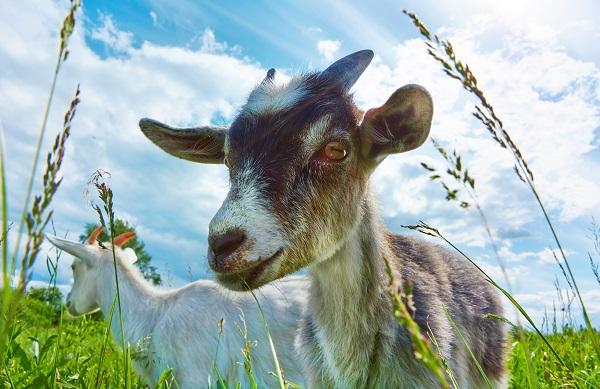 kozie-alebo-kravské-kolostrum