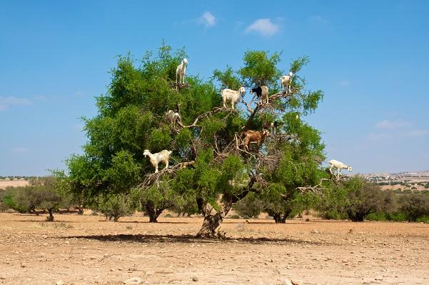 arganový-olej-z-maroka