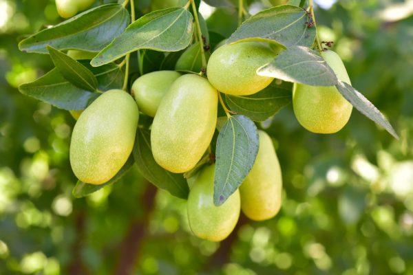 jojoba-strom-plody