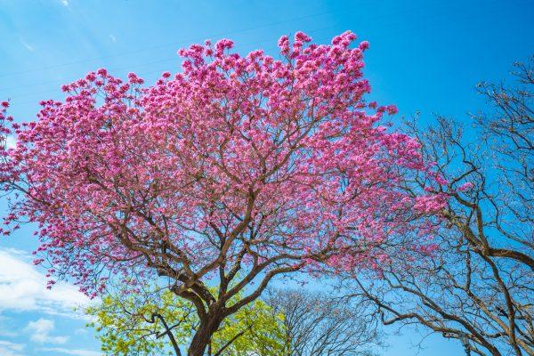 lapacho-tree matto grosso